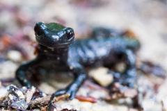 Alpine-Salamander