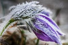 Frozen-Blossom