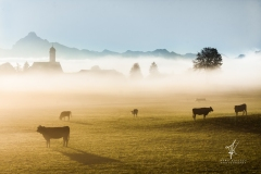 Misty-Cows