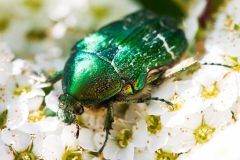Mr.-Rose-Chafer