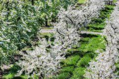 Apple-Blossom-Time