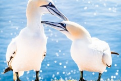 Gannet-Marriage