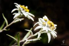 Edelweiss-Twins