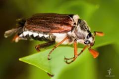 Mr.-May-Bug