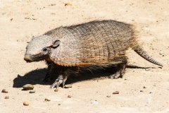 Big-Hairy-Armadillo