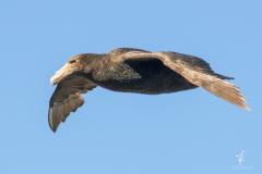 Southern-Giant-Petrel