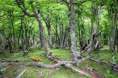 Patagonischer-Dschungel