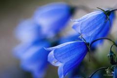 Blaue-Glocken